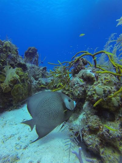 Gray angelfish in Turks and Caicos Islands