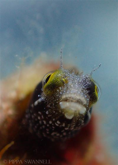 Secretary blenny in Turks and Caicos Islands