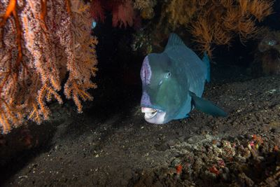 Green humphead parrotfish in Indonesia