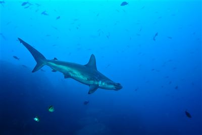 Scalloped Hammerhead in Ecuador