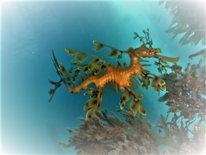 nb scuba leafy sea dragon tours