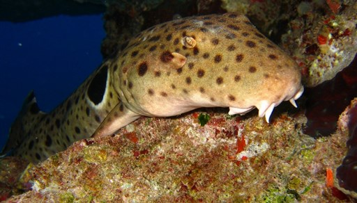 Epaulette shark in Australia
