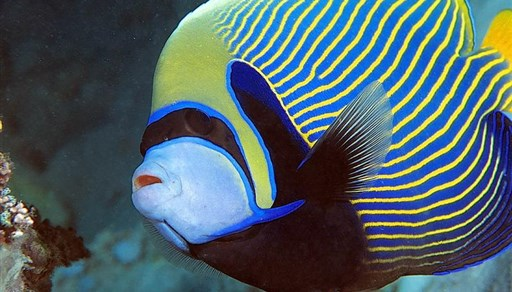 Emperor angelfish in Egypt