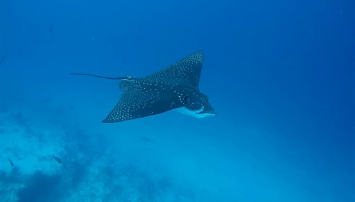 Spotted eagle ray in the Maldives