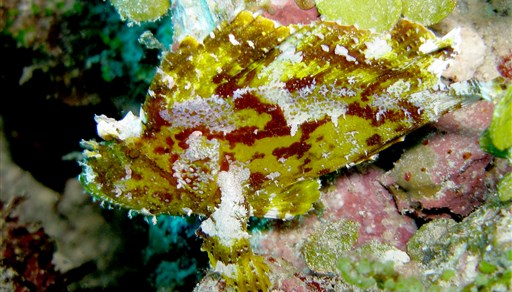 Leaf scorpionfish in Alifushi in the Maldives