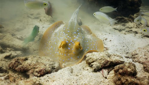 Ribbontail stingray in Angthong Marine Park - Koh Yippon/Hin Yippon in Thailand