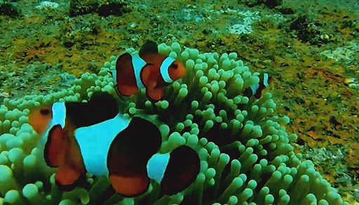Clown anemonefish in Barges in Philippines
