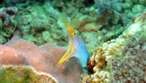 Ribbon moray in Coconut Point in Philippines