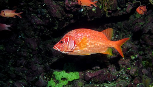 Sabre squirrelfish in Elphinstone reef in Egypt