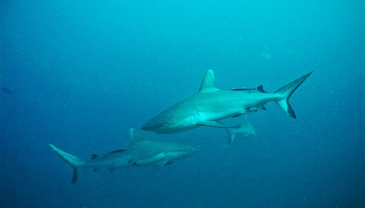 Blacktail reef shark in Embudu Kandu in the Maldives