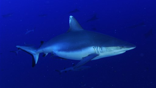 Blacktail reef shark in Kuredhdhoo Kandu in the Maldives