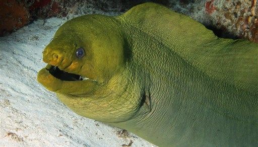 Green moray in Palancar Caves in Mexico
