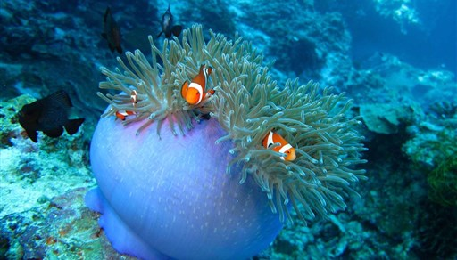 Clown anemonefish in Pamilacan Island in Philippines