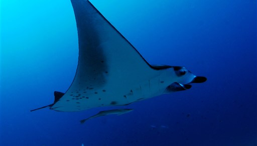 Reef manta ray in Rasfari Island in the Maldives