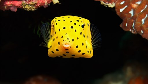 Yellow boxfish in Sail Rock in Thailand
