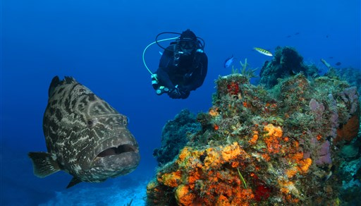 Black grouper in Santa Rosa Wall in Mexico