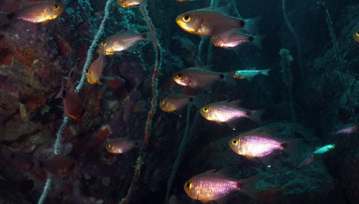 Orangelined cardinalfish in Shark Island in Thailand