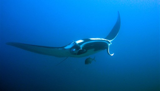 Reef manta ray in Thailand