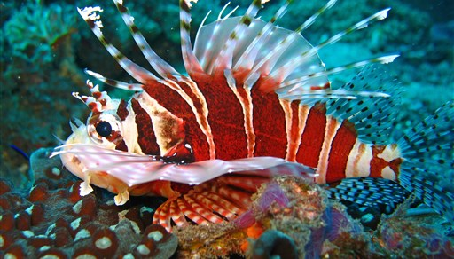 Broadbarred firefish in The Channel in Indonesia
