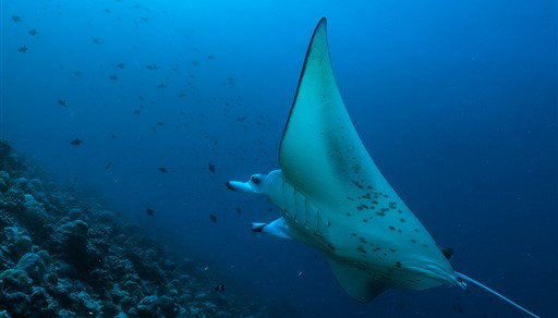Reef manta ray in Thoddoo Faru in the Maldives