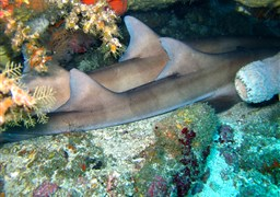Nurse shark in Indonesia