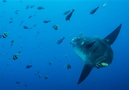 Ocean sunfish in Crystal Bay in Indonesia