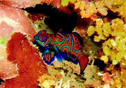 Mandarinfish en Indonesia