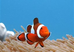 Clown anemonefish in Gili Mimpang in Indonesia