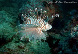 Red lionfish in Angthong Marine Park - Koh Yippon/Hin Yippon in Thailand