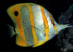 Copperband butterflyfish in Aow Leuk Bay in Thailand