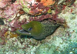 Giant moray in Banana Reef in the Maldives