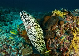 Laced moray in Banana Reef in the Maldives