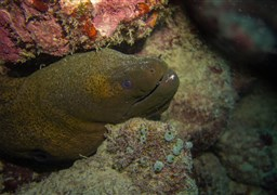 Giant moray in Challenger Bay in Australia