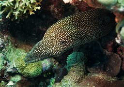 Turkey moray in Challenger Bay in Australia