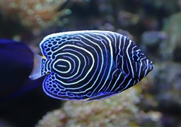 Emperor angelfish in Challenger Bay in Australia