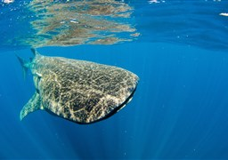 Whale shark in Coconut Point in Philippines