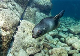 Scuba diving in Darwin Island in Ecuador