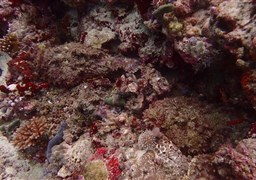 Stonefish in Ebooduoo Thila in the Maldives