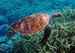 Green turtle in Egypt