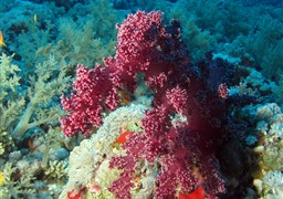 Scuba diving in Elphinstone reef in Egypt