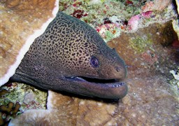 Giant moray in Fantasea Reef in Thailand