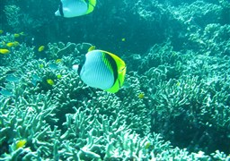 Lined butterflyfish in Fantasea Reef in Thailand