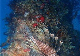 Red lionfish in Fesdhoo Wreck and Thila in the Maldives
