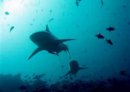 Scuba diving Deep South and Southern Sharks