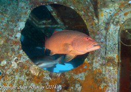 Leopard coralgrouper in HTMS Sattakut in Thailand