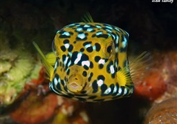 Yellow boxfish in Israel