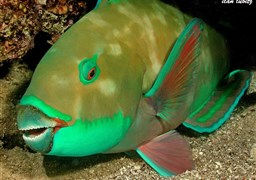 Bleeker's parrotfish in Israel
