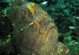 Commerson's frogfish in Kudima Wreck in the Maldives