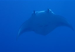 Reef manta ray in Lankan Manta point in the Maldives