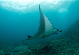 Reef manta ray en Manta Point en Indonesia